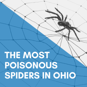 Poisonous Spiders in Ohio