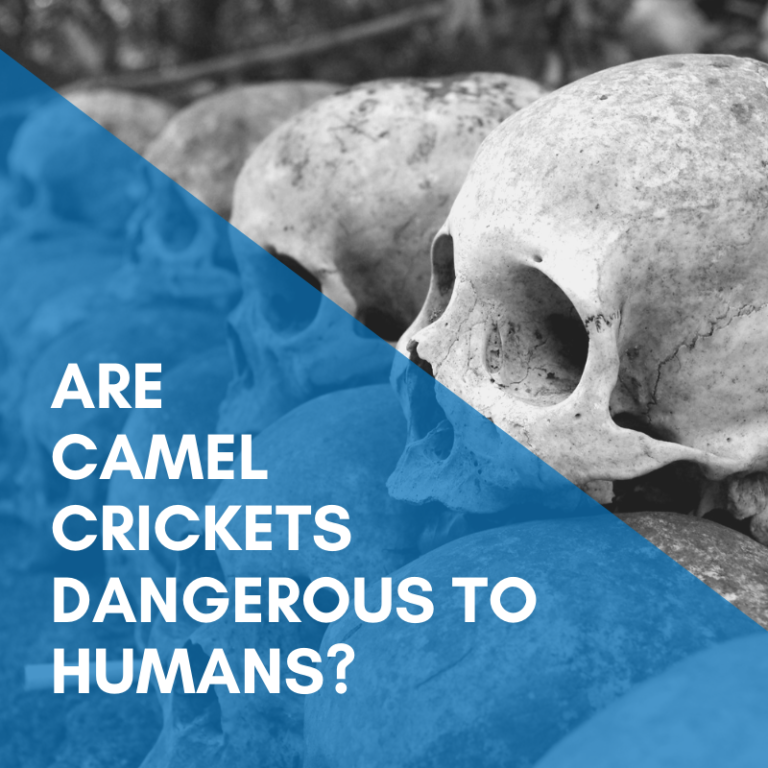 Are camel crickets dangerous to humans?