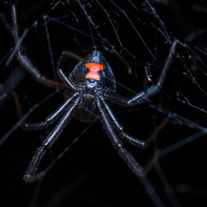 Black widow spider one of the most poisonous spiders in ohio