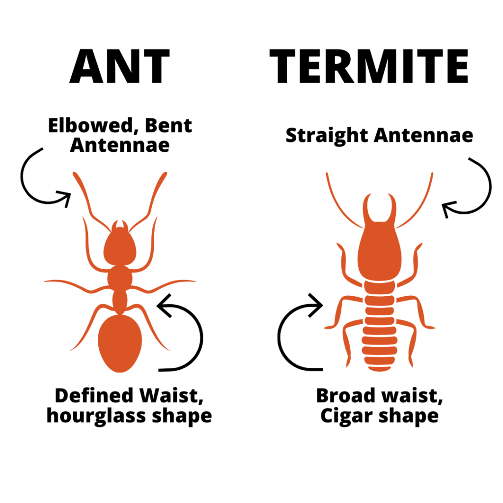 differences between ants and termites