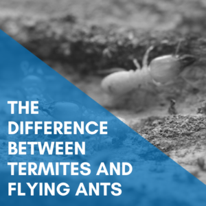 The Difference Between Termites and Flying Ants